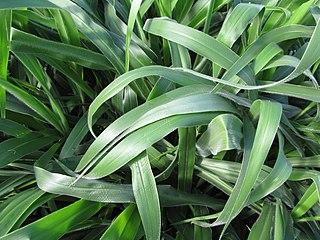 <i>Urochloa brizantha</i> species of plant