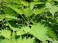 Urtica thunbergiana01.jpg