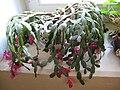 Vánoční kaktus.jpeg