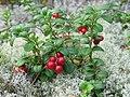 Vaccinium vitis-idaea 20060824 003.jpg