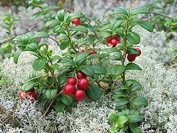 fruits en baies de l'airelle rouge