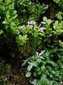 Valeriana dioica 02.jpg