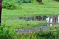 Vanellus indicus, Koraphuza river, Kerala.jpg