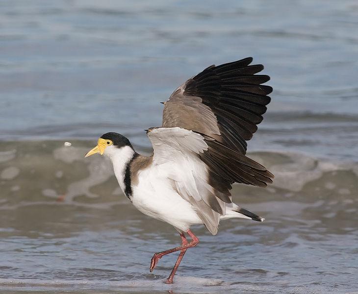 File:Vanellus miles Bruny Island.jpg