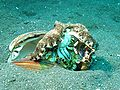 Veined Octopus - Amphioctopus Marginatus eating a Crab.jpg