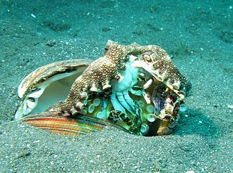 Cephalopod intelligence - A veined octopus eating a crab.