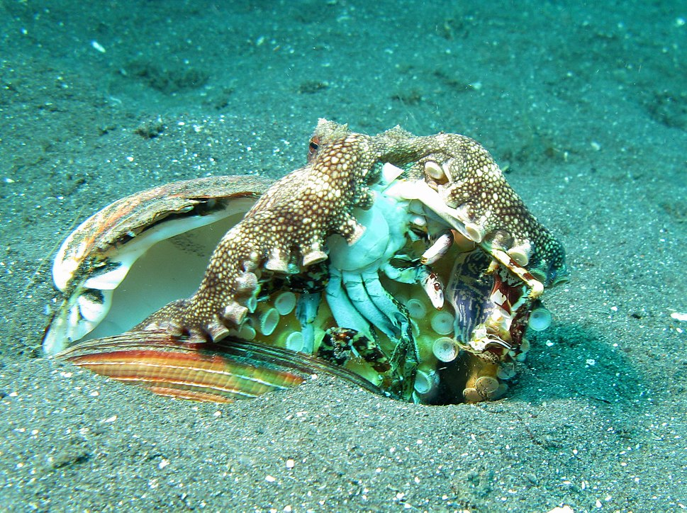 Veined Octopus - Amphioctopus Marginatus eating a Crab