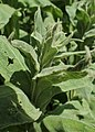 Verbascum densiflorum kz04.jpg