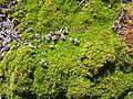 Very close-up of Chareta (Bolax Gummifera) mound on Carelo Island, Ushuaia, Argentina.jpg