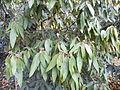 Viburnum rhytidophyllum (5).JPG
