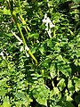 Vicia sylvatica sl40.jpg