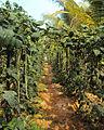 Vigna unguiculata plants.jpg