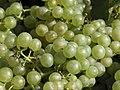 Vigne Chardonnay (Festigny) Cl.J.Weber04 (23595217561).jpg