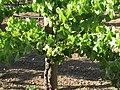 Vigne menée en biodynamie certifiée Demeter.jpg