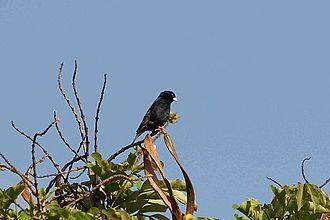 Village indigobird - Male of a white-billed race, V. c. subsp. centralis, at Nairobi, Kenya