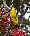 Village Weaver (Ploceus cucullatus) male foraging in Weeping Boer Bean (Schotia brachypetala) flowers ... (32365178621).jpg