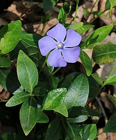 Periwinkle Color Simple English Wikipedia The Free Encyclopedia