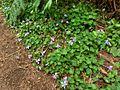 Viola anagae Tenerife 1.jpg