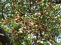 Viscum rotundifolium, Phalandingwe.jpg