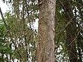 Vitex altissima (5598192968).jpg