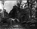 Volcano Road, Hilo (1), photograph by Brother Bertram.jpg