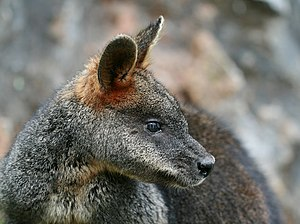 Swamp wallaby - Note the light cheek stripe