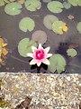 Water Lily (137314279).jpeg