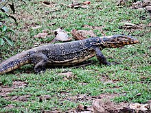 Water Monitor Lizard.jpg