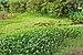 Water hyacinth Ec Portoviejo.jpg
