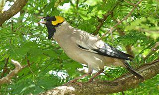 Wattled starling Species of bird