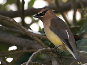 Cedar waxwings (Bombycilla cedrorum)just retur...
