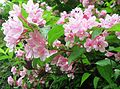 Weigela hortensis 10.JPG