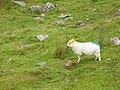 Well marked lamb - geograph.org.uk - 287103.jpg