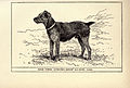Welsh Terrier BDL.jpg