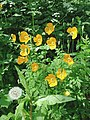 Welsh poppies in a shady canal bank, Audlem - geograph.org.uk - 1601475.jpg