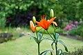 Werne-20090522-Liliopsida-DSC 7143.jpg