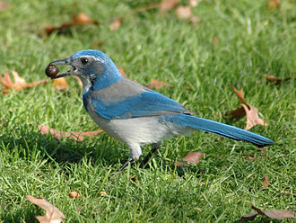 "California scrub jay - ""California"" scrub jay (Aphelocoma californica immanis), showing the well-marked breast band of the coastal races. Acorns are a typical food."