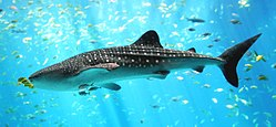Whale shark in Baja
