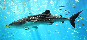 Photo of shark in profile surrounded by other, much smaller fish in bright sunlight