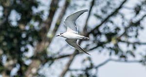 Whiskered tern - Whiskered tern in flight, near Manimala