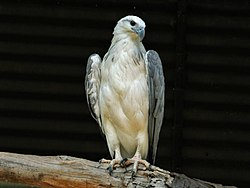 White-bellied Sea Eagle RWD.jpg