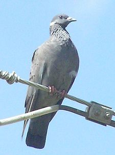 White-collared pigeon1.jpg