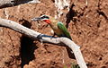 White-fronted Bee-eater, Merops bullockoides, at Ezemvelo Nature Reserve, near Bronkhorstspruit, South Africa (22424644900).jpg
