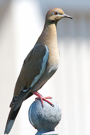 White-winged dove - In Texas