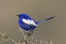 White-winged fairywren.jpg