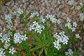 White Flowers (19977185335).jpg