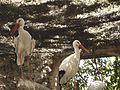 White Storks.jpg