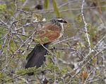 White browed coucal Centropus superciliosus 1.jpg