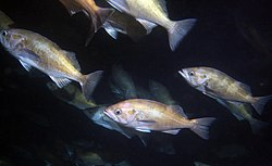 Widow rockfish in Soquel Canyon.jpg