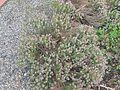 Wild Thyme, Thymus serpyllum.JPG